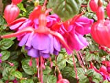 Fuchsia Dollar Princess 6 x Plug Plants Hardy Shrub