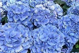 BLUE HYDRANGEA 3 SEEDS---- NIKKO BLUE---DWARF TREE SHRUB
