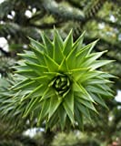 Trees By Post Monkey Puzzle Tree (Araucaria araucana) x 1