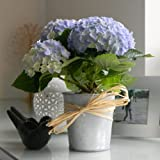 Fresh Flowers Delivered - Hydrangea Plant In a Small Vintage Style Bucket