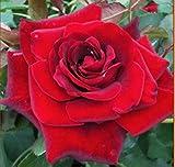 "Climbing Rose Plant, Don Juan, Red, Nice 12-18"" Tall Rose Plant, Bush"