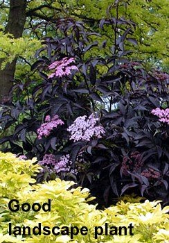 'Black Beauty' Elderberry - Sambucus nigra - Potted - Proven Winners - 4
