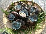 現役漁師採れたて! 愛知県産 国産天然 活サザエ 500g