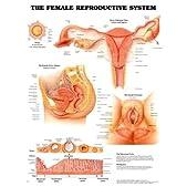Female Reproductive System & Pathology Poster