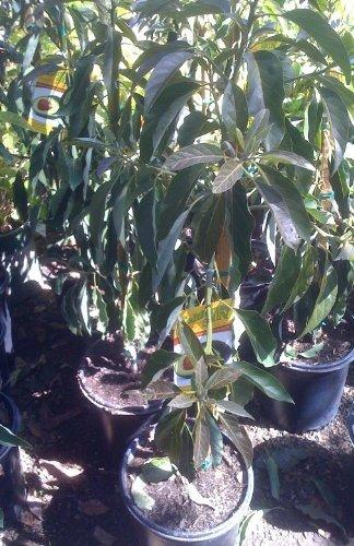 little-cado-dwarf-avocado-tree-five-gallon