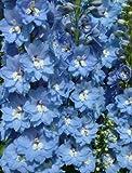 【PLANT】Delphinium Lord Butler デルフィニウム・ロード・バトラー・苗