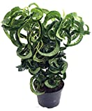 """Revolution Croton - 6"""" Pot - Colorful House Plant - Easy to Grow"""