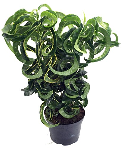 revolution-croton-6-pot-colorful-house-plant-easy-to-grow