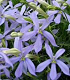 SEEDS - Laurentia (Isotoma) Avant Garde Blue GOOD FOR HANGING BASKETS