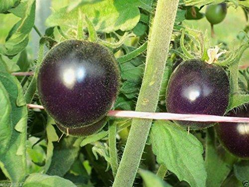 Indigo Rose Purple / Blue Tomato Organic 25 Non-gmo Seeds High Anthocyanin (Indigo Tomatoes compare prices)
