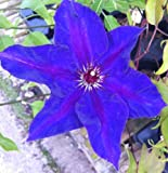 Clematis The President - Climbing Plant In 2 litre pot - Ideal for covering walls and fences