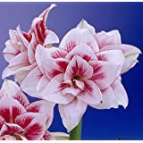 Double Amaryllis Bulb Red and White Amaryllis Elvas - 26/28cm Bulb - Outstanding Indoor Blooms!
