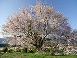 【6か月枯れ保証】【街路樹&公園樹】サクラ/ヤマザクラ 0.5m 【即日発送対応】