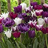 Endless Spring Purple Blend Tulip Mixture-- 15 Nice, Fat Bulbs! Value Pack!