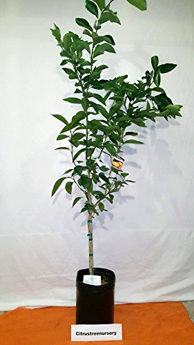 4-5 Foot Mexican or Key Lime Tree in Black Grower's Pot