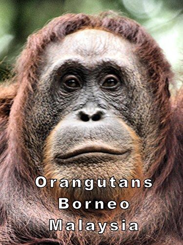 Orangutans Borneo Malaysia