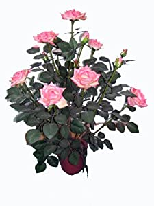 Proteam HO1868 - Artificial Tree Collection - 60 cm Pink Rose Bush