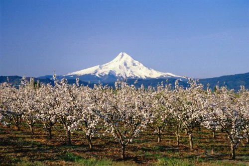 Apple Blossoms Against Mt Hood Wall Decal - 60 Inches W X 40 Inches H - Peel And Stick Removable Graphic front-634044