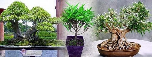 Buy Bamboo Leaf Weeping Fig Tree – Bonsai or House Plant