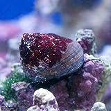 (海水魚 貝 無脊椎)シッタカ貝(バテイラ) Sサイズ コケの掃除(6匹) 本州・四国限定[生体]