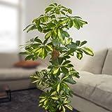 Schefflera arboricola Gold Capella 100cm - 1 plant