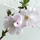 桜[サクラ]:アーコレイド接木苗4号ポット
