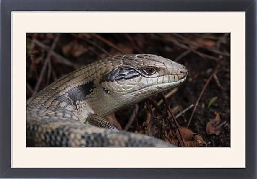 framed-print-of-handsome-blue-tongue-lizard