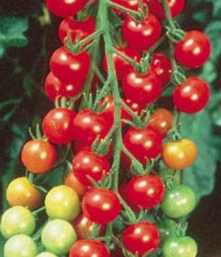 5 Seeds Super Sweet 100 Hybrid Tomato - Amazingly Sweet!! Long Pendulous Clusters!! (Hybrid Tomato Plants compare prices)
