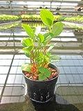 水耕栽培 苗 ペペロミア