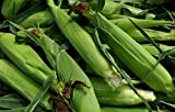 SWEET CORN - SWEETCORN - DOLCE - 50 FINEST SEEDS