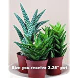 3 Different Aloe Plants - Easy to grow/Hard to Kill! - 3