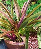 Pineapple Lily Sparkling Burgundy, 3 Large Eucomis Bulbs