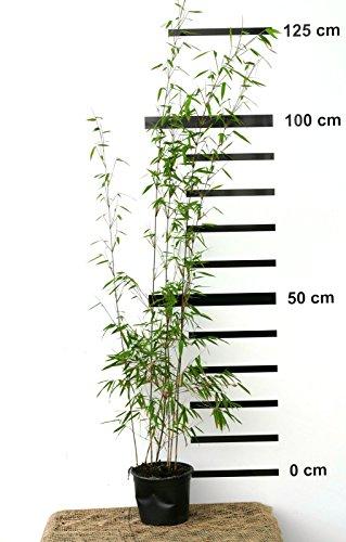 roter bambus fargesia jiuzhaigou winterhart und schnell wachsend 100 120 cm hoch. Black Bedroom Furniture Sets. Home Design Ideas