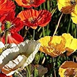 Indian Gardening Poppy Iceland Mix Flower Seeds 50 Finest Seeds