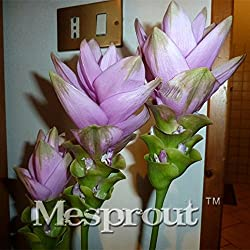 On Sale 100PCS Curcuma Alismatifolia Seeds Herb Plants Easy To Grow Garden Fresh Bonsai Pots Seeds Seed