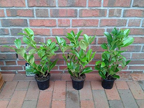 40 kirschlorbeer pflanzen prunus novita h he 40 50 cm ab topf. Black Bedroom Furniture Sets. Home Design Ideas