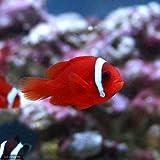 (海水魚)ハマクマノミ(ワイルド)(1匹) 本州・四国限定[生体]