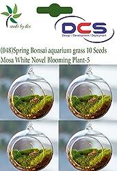DCS (048) Spring Bonsai aquarium grass 10 Seeds Mosa -White Novel Blooming Plant-5