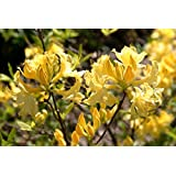 15 Giant Yellow Azalea Seeds*rhododendron* 6' to 10' Ft.*sweet Fragrant*showy*#1232