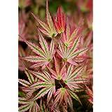 Alpenweiss Japanese Maple 3 - Year Graft