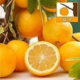 レモン:スイートレモネード4号ポット[手で皮をむいて食べられる甘いレモン!柑橘・かんきつ類苗木]