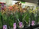 10 Stück Phalaenopsis