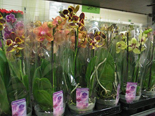 10-stuck-phalaenopsis-2-triebe-orchidee-bluhend-9cm-topf-orchid-orchidee