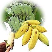 【今が旬】 沖縄県産 銀バナナ 50本 Banana Party 甘みが強くほどよい酸味 自然本来の味の無農薬国産バナナ