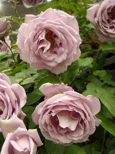 バラ苗 つるブルームーン (CL) 国産苗 新苗 6号スリット深鉢苗青紫色 強香 バラ 苗 つるバラ ツルバラ つるばら 薔薇