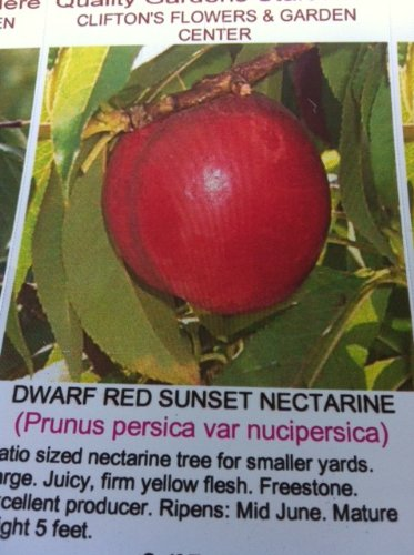 Dwarf Red Sunset Nectarine Tree Five Gallon