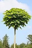 Amazon.de Pflanzenservice Hausbaum Trompetenbaum Catalpa Bignonioides Nana mit Pflanzstab und