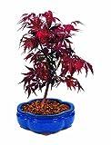 Brussel's Japanese Red Maple Bonsai