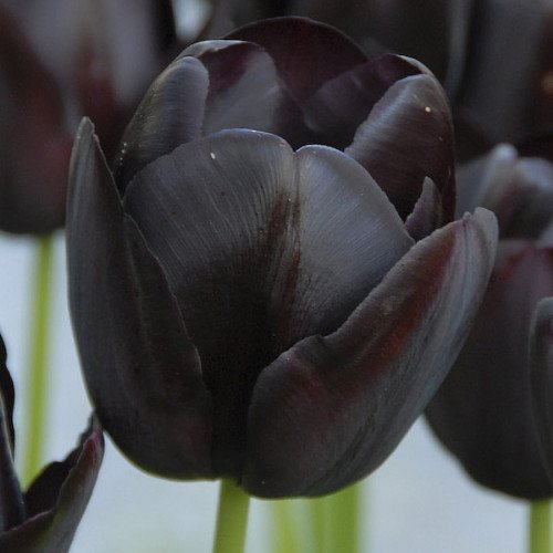 Queen of Night Single Late Tulip 10 Bulbs - Almost Black - 12/+ cm Bulbs