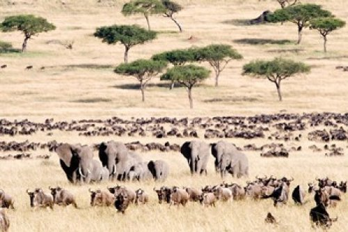 Wildebeests with African elephants in a field, Masai Mara National Reserve, Kenya